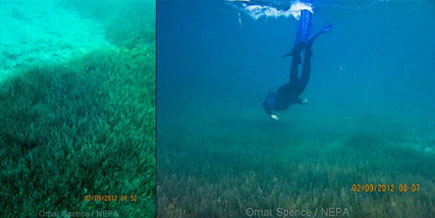 Halodule seagrass beds in Negril, offshore Sandals Negril (source NEPA/C. Roye)